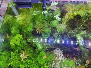Hornwort Grown by Wilfredo Gatchalian Philippines