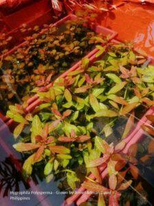 Hygrophila Polysperma Grown by Armel Adman David Philippines