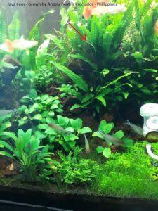 Java Fern Grown by Angela Beatriz Preciados Philippines