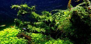 Java Moss Glued to Driftwood