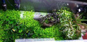 Java Moss Refill