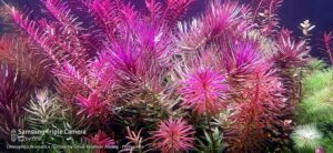 Limnophila Aromatica Grown by Omar Krishnan Afuang Philippines