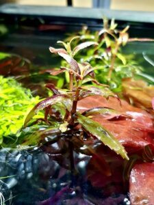 Limnophila Belem Grown by Jay-R Bagni Philippines