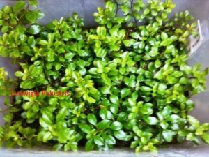 Ludwigia Palustris Grown by Ed Cruz Philippines