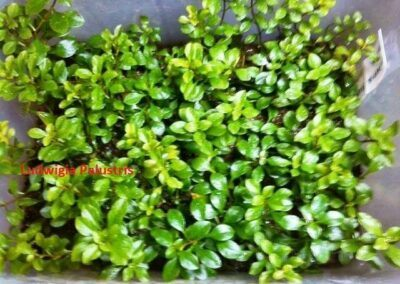 Ludwigia Palustris Grown by Ed Cruz Philippines