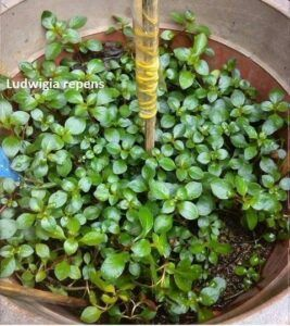 Ludwigia Repens Grown by Ed Cruz Philippines