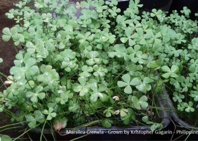 Marsilea Crenata Grown by Kristopher Gagarin Philippines