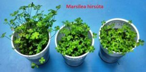 Marsilea Hirsuta Grown by Ed Cruz Philippines