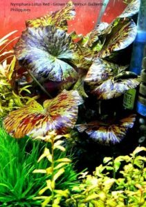 Nymphaea Lotus Red Grown by Terence Guillermo Philippines