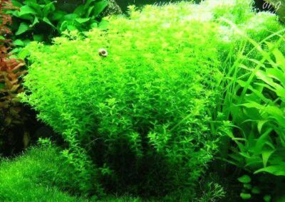 Pearlweed Grown by Aristotle Acha Philippines