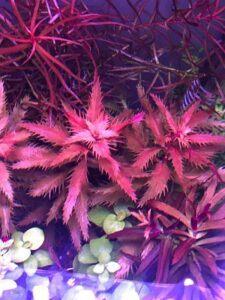 Proserpinaca Palustris Grown by Sam Bolivar Philippines