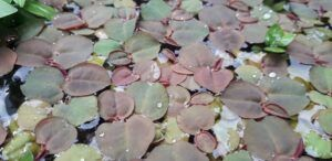 Red Root Floaters Grown by Patrick Malgapo of Pael Aquatics Philippines