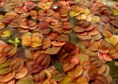 Red Root Floaters Under Direct Sunlight Grown by Patrick Malgapo of Pael Aquatics Philippines