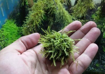 Riccia Fluitans Grown by Omar Krishnan Afuang Philippines