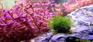 Riccia Fluitans and Ludwigia Super Red Mini Grown by Omar Krishnan Afuang