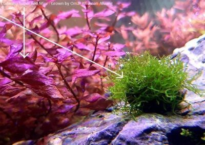 Riccia Fluitans and Ludwigia Super Red Mini Grown by Omar Krishnan Afuang