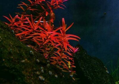 Rotala Colorata Grown by Oliver Silvestre Philippines