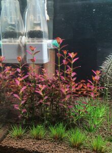 Rotala Ramosoir Grown by Ayong Go Philippines