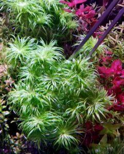 Syngonanthus sp Belem Grown by Winston Sumogod Philippines