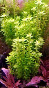 Tonina Fluviatilis Grown by Winston Sumogod Philippines