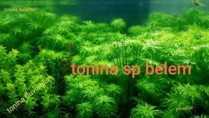 Tonina sp Belem and Tonina Fluviatilis Grown by Jay-R Huelar Philippines