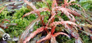 hygrophila pinnatifida Edrian corpuz espiritu