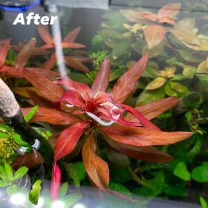 Ludwigia Glandulosa Grown by Jeco Bonzon Philippines