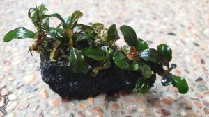 Bucephalandra Species Tied to a Black Lava Rock Using a Sewing Thread