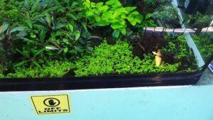 Micranthemum Monte Carlo Carpet After Planting