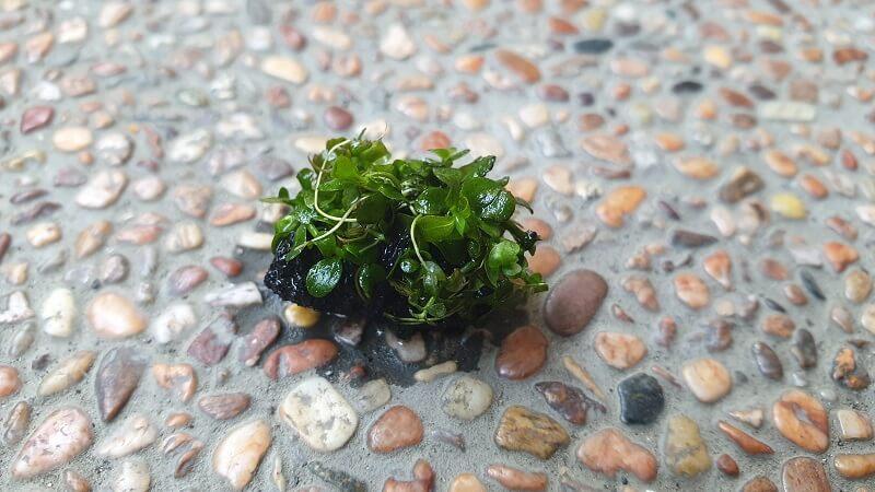 Micranthemum Monte Carlo Tied to a Lava Rock
