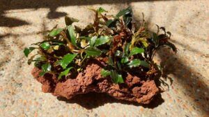 My Bucephalandra sp. Glued to a Red Lava Rock