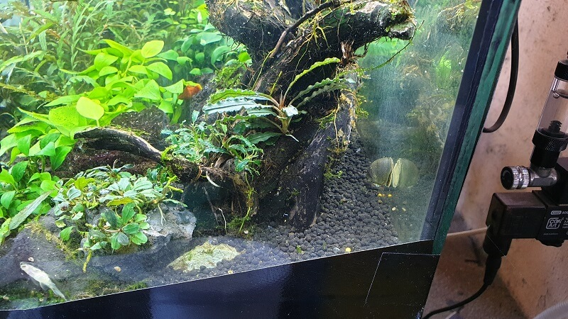 Small to Medium Leaf Bucephalandra Species for details