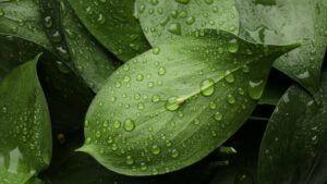 Rainwater droplets on leaves