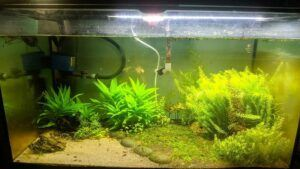 Using an Overhead Sump Filter Aquascaped by Neil Aldrin Tiongson Philippines
