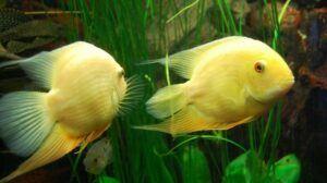 Yellow CicHeros Efasciatus Cichlidhlids in a Planted Tank
