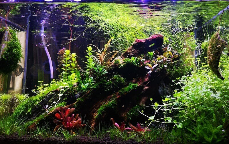25 Liters Main Planted Tank Using a Canister Filter Aquascaped by Ipe Aguilar Philippines
