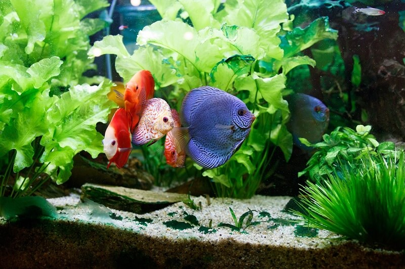 Discus in a Large Planted Tank