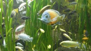 Overstock Cichlid Planted Tank