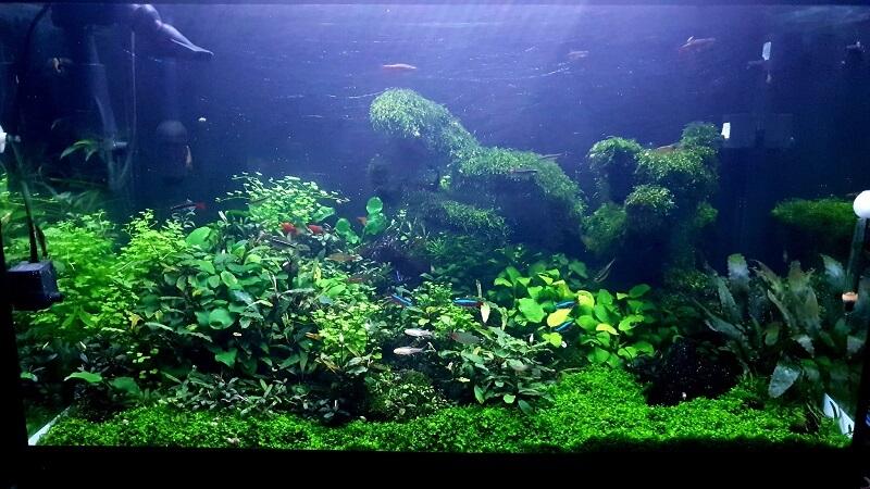 Planted Aquarium Aquascaped by Lemuel Sacop Philippines