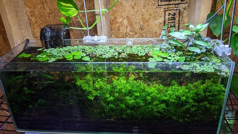 Can be Considered as a Riparium using a Shallow Tank Aquascaped by Janmikel's Aquatic Plants Philippines