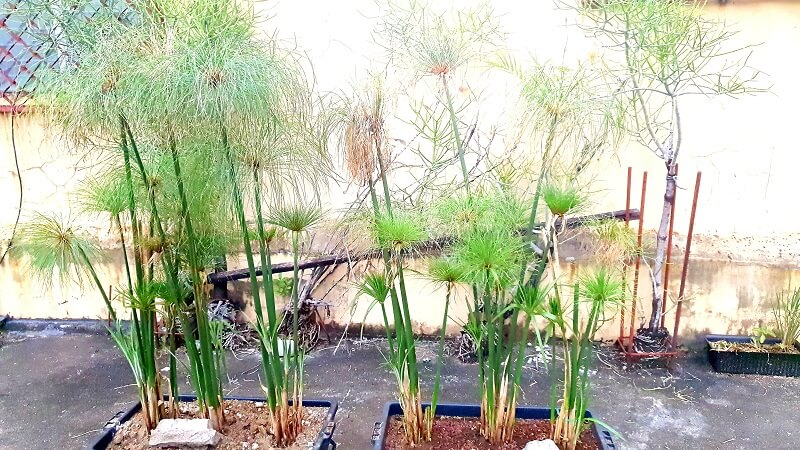 Cyperus Papyrus - they can get really tall though