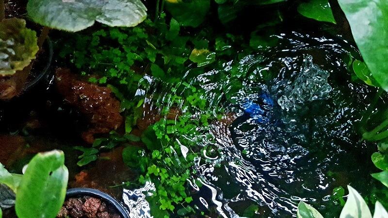 Submerge Anubias, Hydrocotyle Tripartitas, Bucephalandras, Cryptocorynes in my Riparium